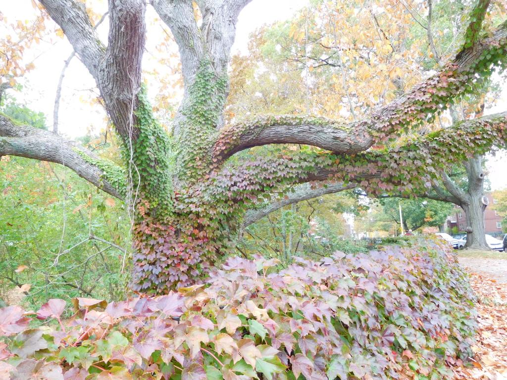arnold_arboretum_7