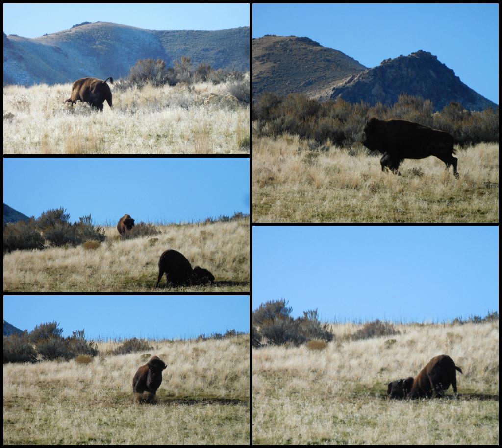 bison_antelope_island