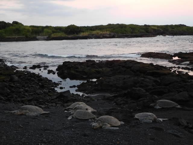 Punalu'u_Beach_turtles