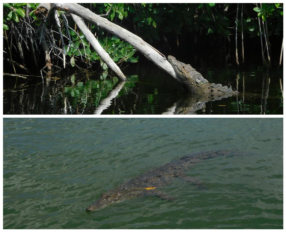 black_river_Jamaica_crocodile