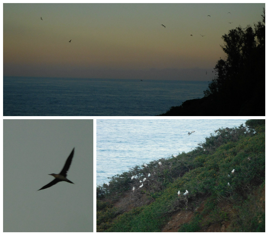 laysan_albatross_kauai