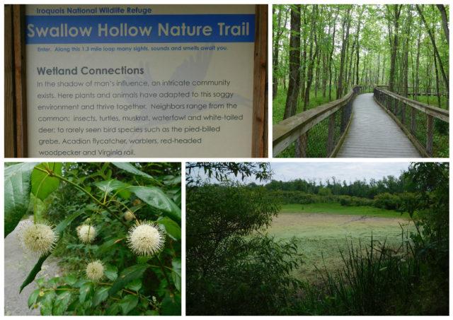 Iroquois_National_Wildlife_Refuge_swallow_hollow