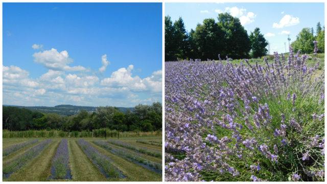 Lockwood_Lavender_Farm_skaneateles_1